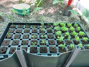 greenhouse seed starting